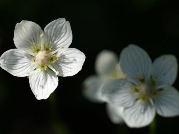 Parnassia-foto-Twan-Teunissen-1